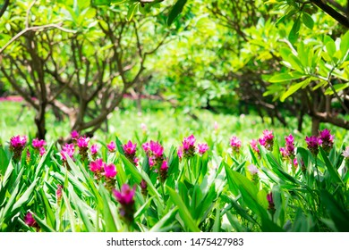 Close up nature of pink flower, natural pink Siam tulip flower on field using as  background or wallpaper