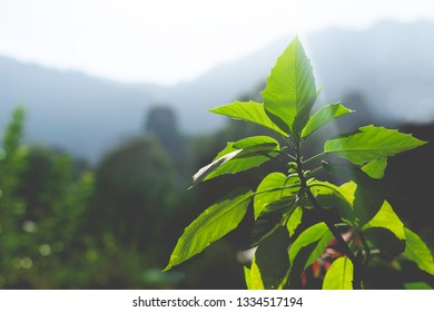Close up nature view of green leaf with sunlight on blurred mountain background.