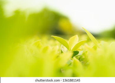 Close up nature view of green leaf in garden under sunlight. Nature green plant landscape using background or wallpaper. -  image
