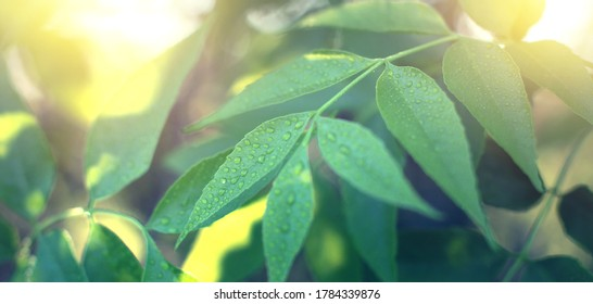 Close up of nature view green leaf on blurred greenery background under sunlight with bokeh and copy space using as background natural plants landscape, ecology wallpaper or cover concept. - Shutterstock ID 1784339876