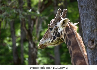 A close up of the neck and head of a giraffe in she spring sunshine with a line of drool hanging from its mouth.