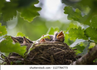 A close up of the nest of thrush with small babies.