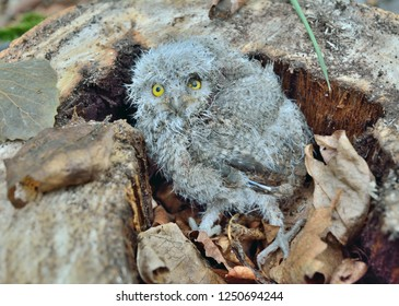 A close up of the nestling of owl.