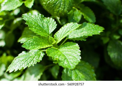 Close up of nettle in a garden