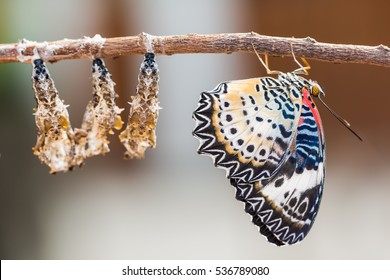 Close up of new born Leopard lacewing (Cethosia cyane euanthes) butterfly after its emergence from its pupa