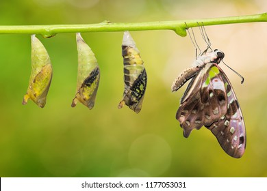 Close up of new born Tailed Jay (Graphium agamemnon) butterfly and pupa transformation, isolated on nature background with clipping path