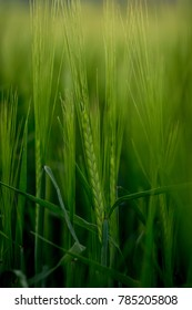 Close up of a new crisp wheat stalk in a beautiful vibrant green field during a golden sunset. Taken in the early summer in the vast farmlands of Idaho country.