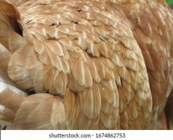 A close up of a New Hampshire chicken showing it's light brown feathers