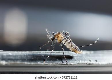 Close up newborn aedes albopictus mosquito, pest animal, contagion