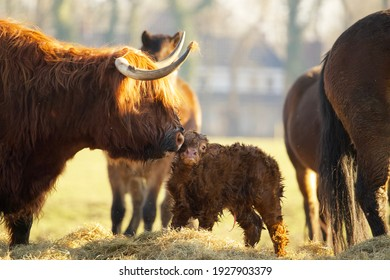 close up of a newborn calf of a scottish highlander in a herd with the mother contained in soft spring light