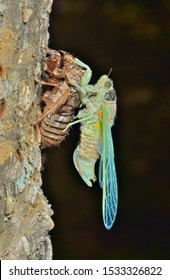 A close up of the new-born cicada on its skin.