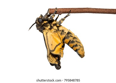 Close up of newly born Lesser Death's Head hawkmoth (Acherontia styx) clinging on wood stem, isolated on white background with clipping path