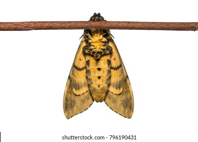 Close up of newly born Lesser Death's Head hawkmoth (Acherontia styx) clinging on wood stem, ventral view, isolated on white background with clipping path