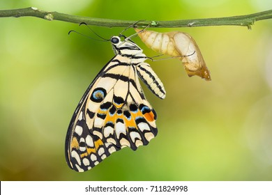 Close up of newly born Lime butterfly or Lemon butterfly (Papilio demoleus) clinging on its pupal case, isolated on nature background with clipping path