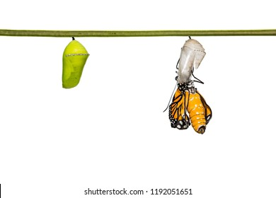 Close up of newly emerged Common Tiger (Danaus genutia) butterfly (close to monarch butterfly) during its wings expansion, isolated on white background with clipping path