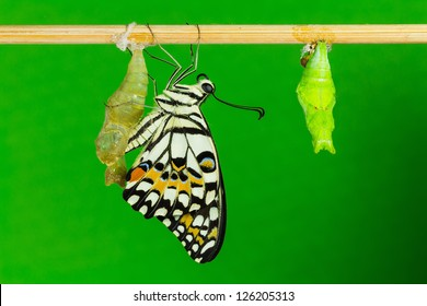 Close up of newly emerged lime butterfly clinging beside its pupal case with green background
