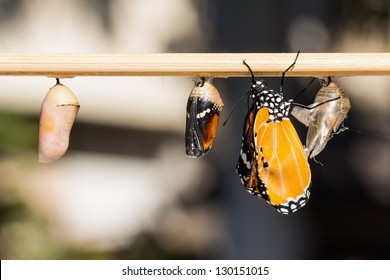 Close up of newly emerged Plain Tiger butterfly clinging beside its pupal case and a mature pupa and a young pupa