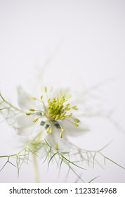 Close up of Nigella Flower on White Background