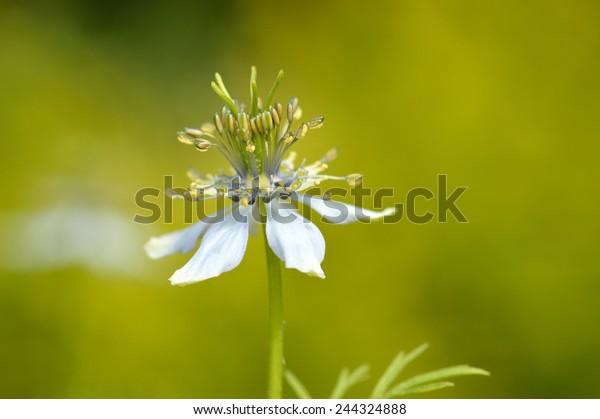 Close up of Nigella sativa against garden background. Flower of nigella or nutmeg flower. Copy space.