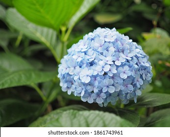 Close up Nikko Blue Hydrangea Macrophylla flowers with blurred green nature background. - Shutterstock ID 1861743961