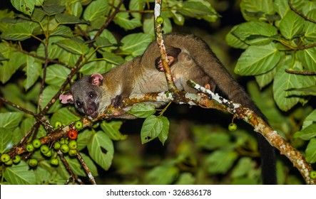 Image of: Most Dangerous Close Up Of Nocturnal Animals Smalltoothed Palm Civet Arctogalidia Trivirgata In Nature Mother Nature Network Nocturnal Animal Images Stock Photos Vectors Shutterstock