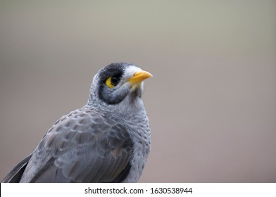 Close up of a Noisy Miner bird (Manorina melanocephala) captured in the Daisy Hill conservation park in Brisbane. This bird is an endemic species of Australia