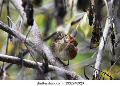 Close up of a non-breeding immature swamp sparrow facing forward with head tilted while perched on a branch in the undergrowth foraging for food.  Photographed in New Hampshire, USA on a wet autumn