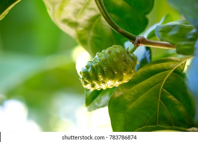 Close up Noni or Morinda citrifolia fruit or Cheese fruit on tree.
