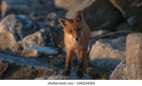 Close up of nordic fox (vulpes)