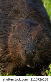 Close up of a North American Beaver. Tommy Thompson Park, Toronto, Ontario, Canada.
