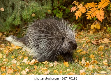 close up of a North american porcupine foraging with trees and fall foliage in the background