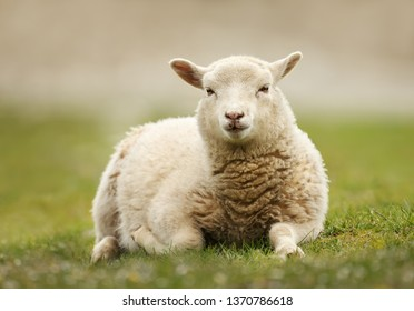 Close up of a Northern European short-tailed sheep laying on the grass, Scotland.