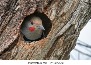 Close up of Northern Flicker in nest