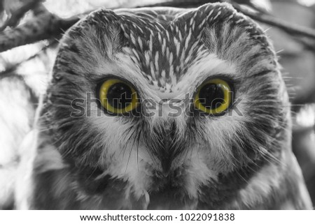 Close up of a Northern Saw-whet Owl. Colour removed from photo except for eyes. Tommy Thompson Park, Toronto, Ontario, Canada.