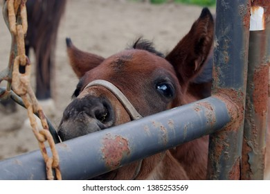 Close up of the nose of a bay colt chewing on a rusty metal gate.