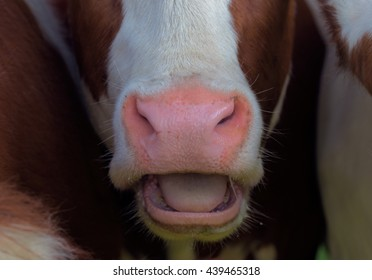 close up nose and open mouth of a holstein friesian cow