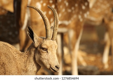 a close up of a Nubian ibex goat in a farm while a dear is in the backgroung