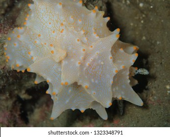 Close up Nudibranchs of Papua New Guinea, amazing muck dive sites in Rabaul and Kokopo .