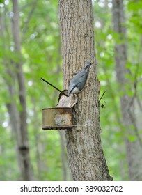 A close up of the nuthatch at birdfeeder on tree.