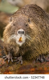 Close up of a Nutria (Myocastor coypus) on a log