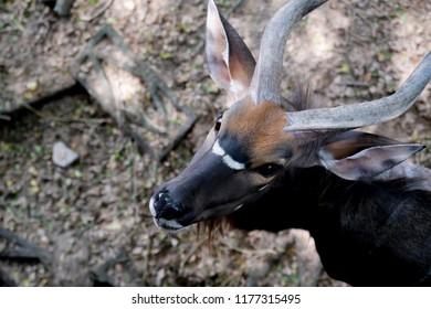 Close up  Nyala antelope (Nyala angasi) in the zoo at Thailand.