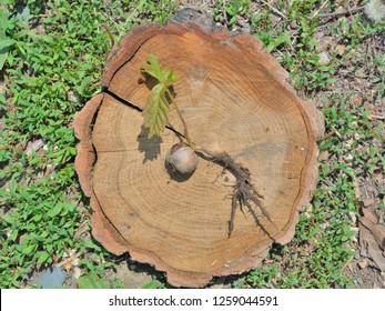 A close up of the oak plantlet.