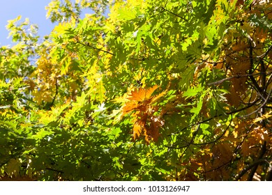 close up of an oak tree during a change of foliage in the fall period in the park