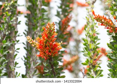 Close up of ocotillo in bloom with orange flowers and green leav