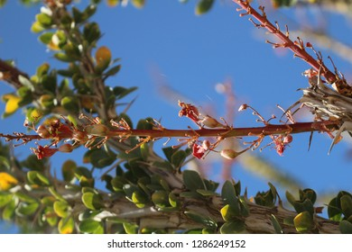 Close up of Ocotillo plant, Fouquieria splendens, tiny blossom in the California desert on a sunny day with blue skies.
