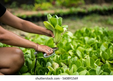Close up od foman hands picking Pok Choy fro the field. Bok Choi growing in farm