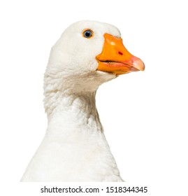 Close up of, Domestic goose against white background