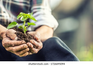 Close up of old man holding seedling with soil in both of his hands.