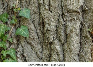 Close up an old tree bark with one Ivy vines climbing tree, green leaf