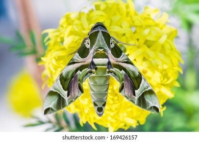Close up of Oleander Hawk-moth or army green moth (Daphnis nerii) on marigold flower